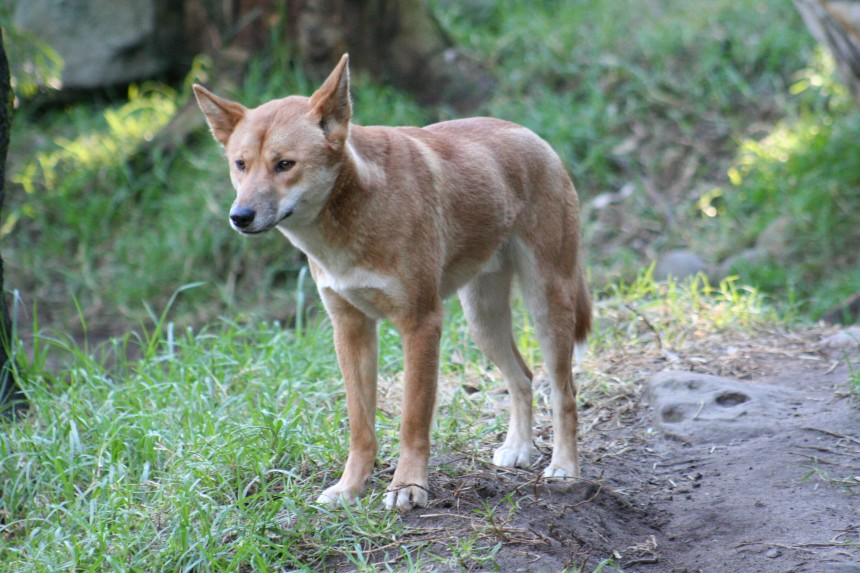 Dingoes (Canis lupus dingo) are also the same species as the dog, a fact which I took personal offence upon discovery (I loved dingoes as a kid).