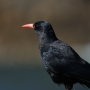 The red-billed chough, subject on one of Jane's long term studies of effects of the environmental on the size and structure of populations