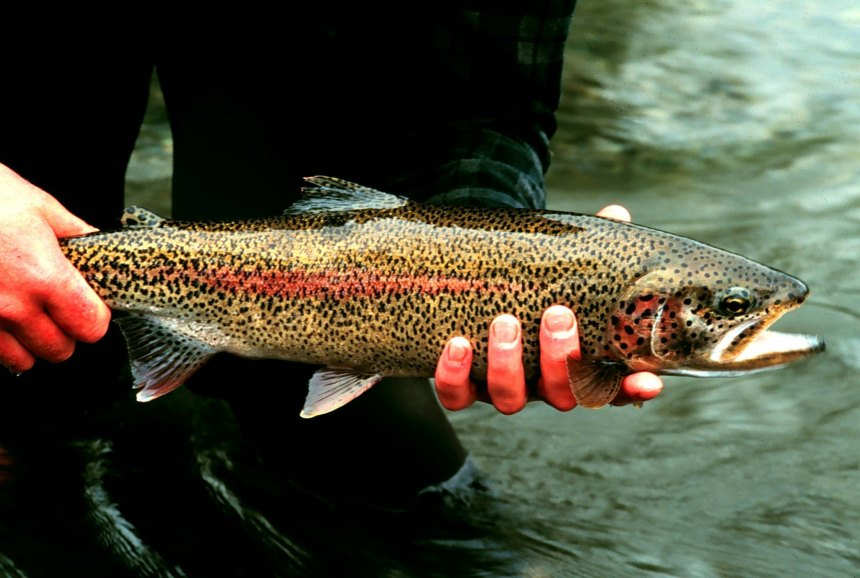 The Rainbow trout is classed as one of the world's 100 worst invasive species, but is a favourite among anglers
