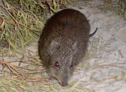 Gilbert's Potoroo, an endangered species likely hit severely by the ongoing bushfires (Image Credit: Mick Wackers, CC BY 3.0)