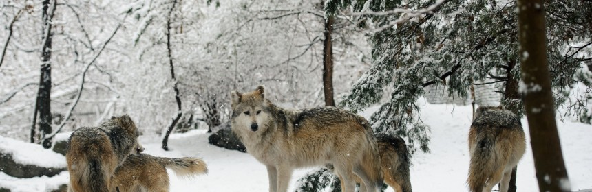 When animals like these wolves travel in packs, spotting one individual means we're more likely to spot another soon after. So how do we come up with a reliable population estimate in situations like these? (Image Credit: Eric Kilby, CC BY-SA 2.0, Image Cropped)