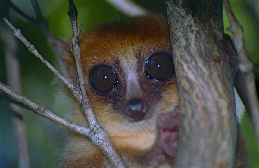 Whilst the 24 different species of mouse lemur all look quite similar, they are genetically quite varied (Image Credit: Bernard Dupont, CC BY 2.0)