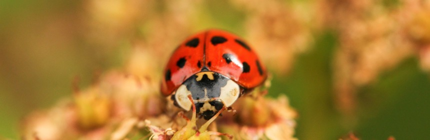 I sat down with leader of the UK Ladybirds Survey Helen Roy to talk about the stigma surrounding invasive species like this Harlequin Ladybird (Image Credit: PJ Taylor, Pixabay Licence, Image Cropped)
