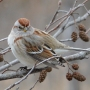 Birds like this American tree sparrow are declining rapidly, shows a study which looks at huge declines in North American bird populations