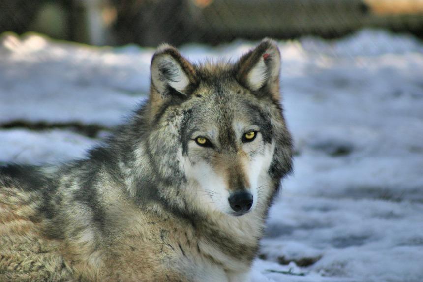 wolf-4201081_1920