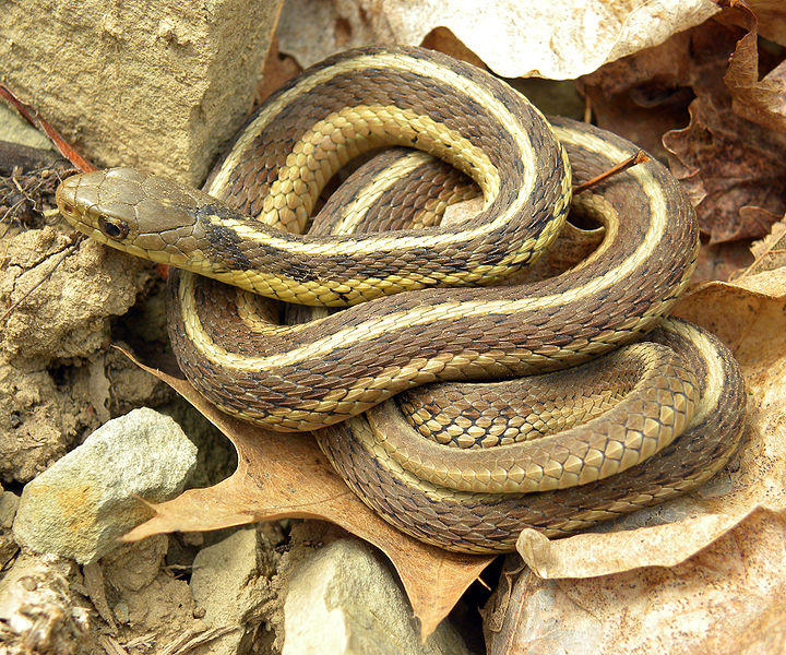 720px-Thamnophis_sirtalis_sirtalis_Wooster