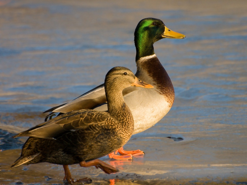If you don't believe that mallard ducks are evil and that birds in general are stupid, you are fooling yourself. Here is a male sexual deviant and his captor. May you never meet a person whose favourite animal is the duck (Image Credit: Fcb981, CC BY-SA 3.0)