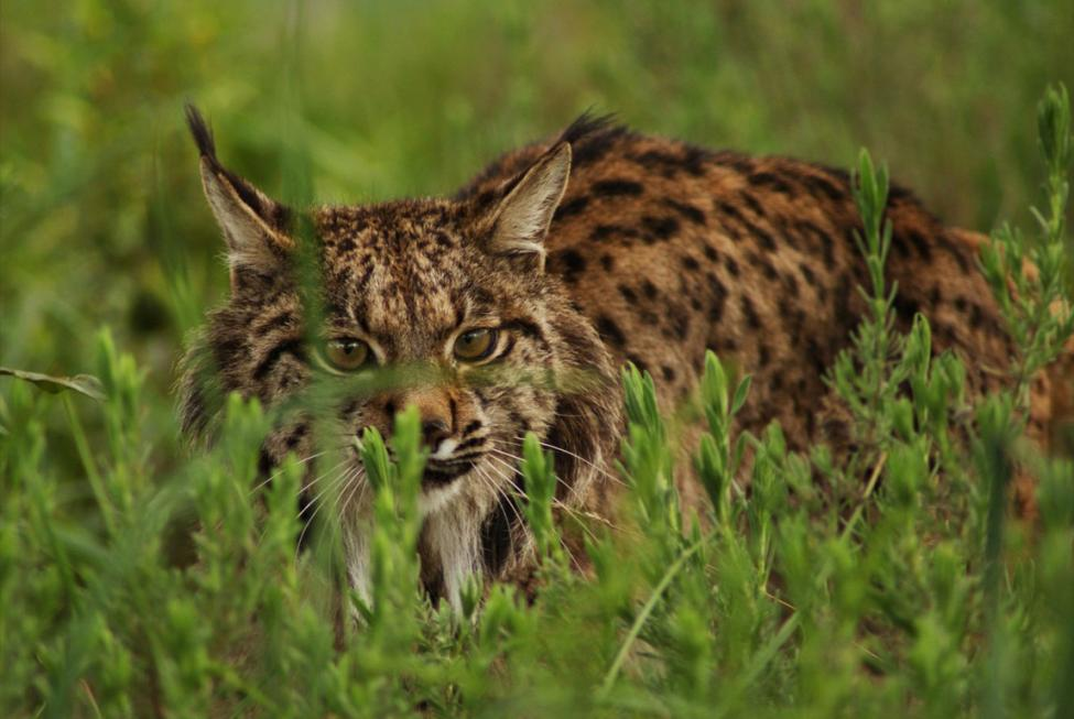 Whilst the Iberian lynx is not the same species as the domestic cat (it's not even the same genus), they are still threatened by hybridisation and disease transmission through feral cats (Image Credit: Ex-situ Conservation, CC BY 3.0 ES)