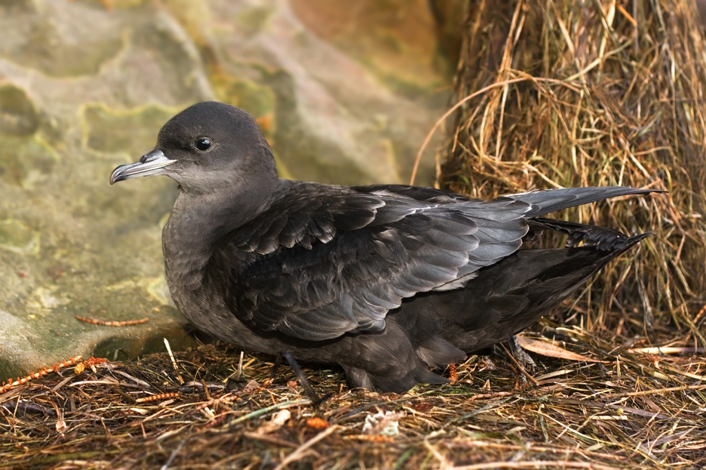 The short-tailed shearwater (Image Credit: JJ Harrison, CC BY-SA 3.0)