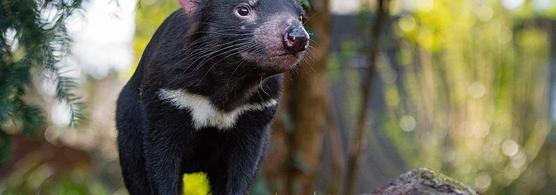Tasmanian Devil at the Zoo Duisburg.